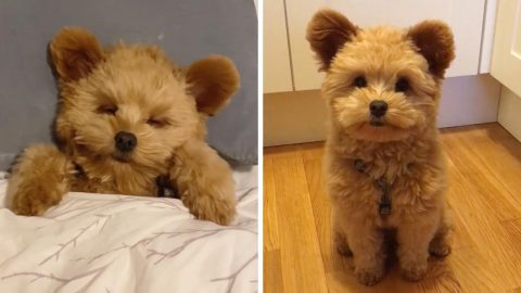 ADORABLE DOG GETS CONSTANTLY MISTAKEN FOR A TEDDY BEAR Image