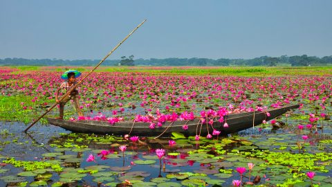 PRETTY IN PINK – BEAUTIFUL IMAGES SHOWCASE WATERLILY HARVEST IN BANGLADESH Image