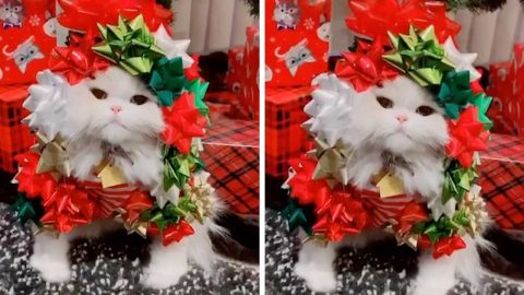 PET OWNER WRAPS KITTEN UP WITH GIFT BOWS IN PREPARATION FOR CHRISTMAS Image