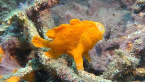 FROGFISH SHOWS OFF LIGHTNING FAST REFLEXES TO CATCH PREY Image