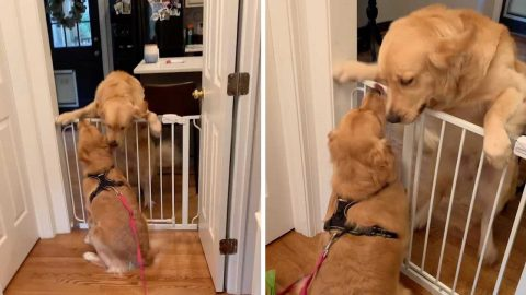 ADORABLE VIDEO SHOWS GOLDEN RETRIEVER BEST FRIENDS EXCITEDLY GREET EACH OTHER Image