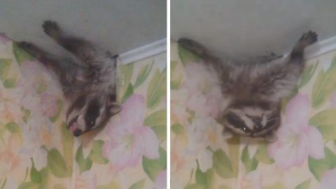CURIOUS RACCOON POKES ITS HEAD THROUGH WOMAN'S CEILING VENT Image