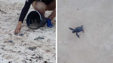 NEWBORN TURTLE HATCHLINGS HAVE BEEN CAPTURED CRAWLING INTO THE OCEAN Image