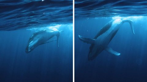 LUCKY DIVER SERENADED WITH UP CLOSE SONG FROM GIANT HUMPBACK WHALE Image