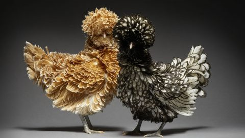 POSH AND PECKS – CHICKEN COUPLES POSE FOR PROFESSIONAL PHOTOSHOOT Image