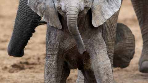 SAY CHEESE! ADORABLE MOMENT BABY ELEPHANT APPEARS TO SMILE FOR THE CAMERA Image
