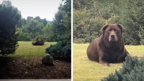 THICK DOG IS MISTAKEN FOR A BEAR DUE ITS HUGE 140 POUND PHYSIQUE Image