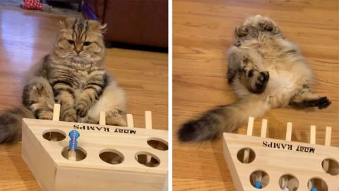 THIS CAT IS DONE PLAYING GAMES AS HE FALLS OVER IN BOREDOM Image