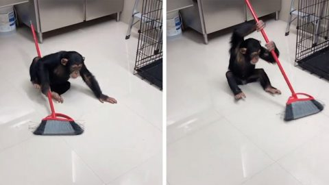 HOUSE-PROUD CHIMP CLEANS UP AFTER HIMSELF WITH BROOM IN ADORABLE VIDEO Image