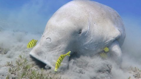 DIVERS GET CLOSE TO A RARELY SEEN SEA-COW Image