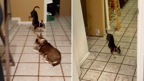 LOOK, TWO PAWS! CHIHUAHUA SHOWS OFF HER BALANCING SKILLS AS SHE WALKS ON JUST HER FRONT LEGS Image