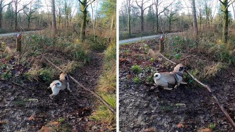 THE PUGGLES OF CARRYING A BIG STICK! THIS PUG IS DETERMINED TO CARRY AROUND LONG STICK DESPITE OBSTACLES Image