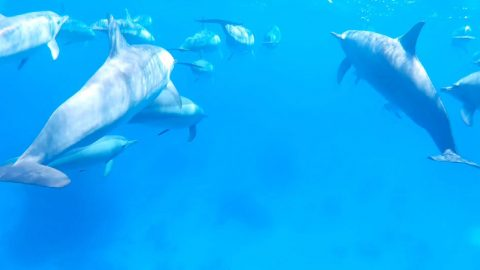 LUCKY SNORKELLER SWIMS WITH POD OF 40 DOLPHINS Image