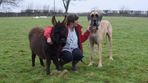ONE OF THE HERD! GIANT DOG RAISED BY DONKEYS IS NOW ONE OF THE HERD Image