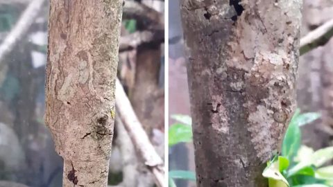 MOSSY LEAF-TAILED GECKOS SHOWCASE UNBELIAVABLE CAMOUFLAGING ABILITY BY BECOMING ONE WITH TREE BRANCHES Image