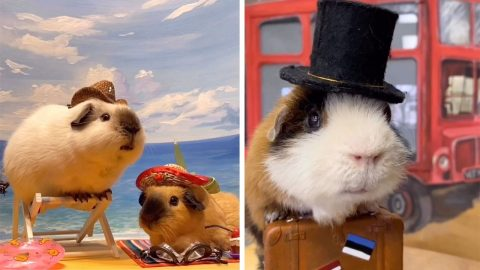 MY FAMILY OF LITTLE ANIMALS! HILARIOUS PHOTOS SHOW FAMILY OF GUINEA PIGS AS YOUVE NEVER SEEN THEM BEFORE Image