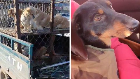 DACHSHUND SET FOR NEW LIFE IN SUN AFTER BEING RESCUED FROM CHINESE MEAT MARKET FOR £26 Image