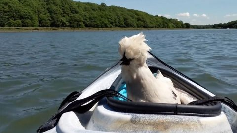 ADVENTUROUS CHICKEN LIVES LIFE TO THE FULL BY KAYAKING, TIGHT-ROPE WALKING AND EVEN RIDING MOTORBIKES Image