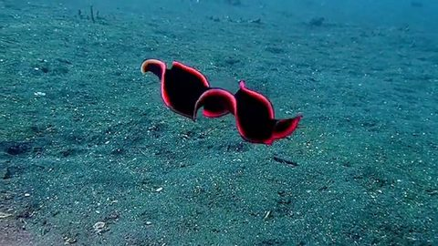 STUNNING FLATWORM LOOKS LIKE SHINY RED RIBBON WHILE SWIMMING Image
