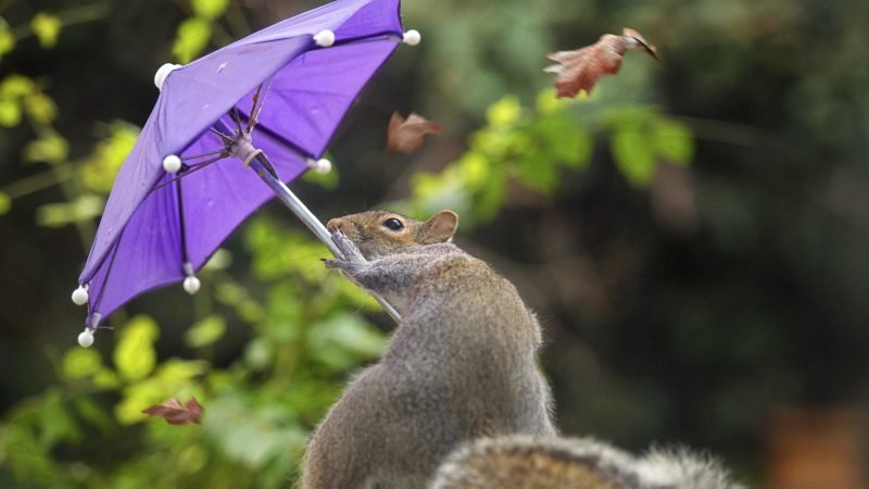 ADORABLE SNAPS OF SQUIRREL BATTLING WIND WITH AN UMBRELLA Image