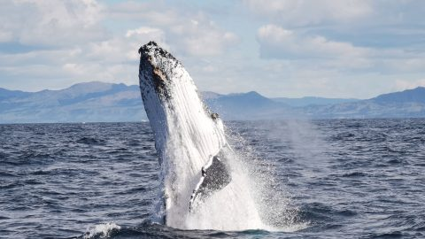BRITISH TOURIST CAPTURES MAGICAL MOMENT HUMPBACK WHALE PERFORMS IN FRONT OF AN EMPTY CRUISE BOAT - BEFORE GIVING UP AND FLOPPING BACK INTO OCEAN Image