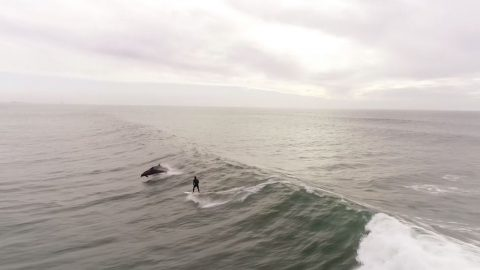 SURFS UP AS DRONE CAPTURES AMAZING MOMENT SURFER SAILS ALONG WITH POD OF DOLPHINS Image