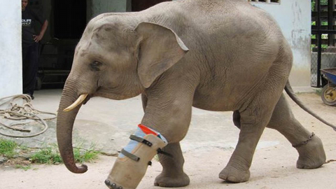 HEARTWARMING IMAGES OF ELEPHANT WHO LOST HIS FOOT TO POACHERS SNARE LOVING LIFE IN HIS NEW PROSTHETIC Image
