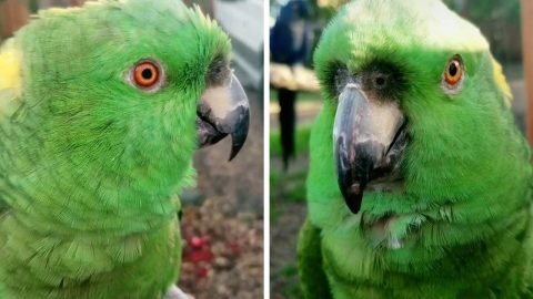 CAW, WHAT A SQUAWKER! THIS PARROT SOUNDS LIKE A WOMAN HYSTERICALLY LAUGHING Image