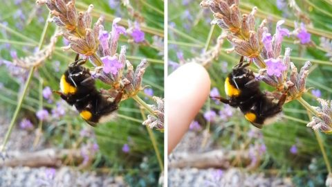 HIVE-FIVE: SLEEPY BUMBLE BEE HIGH-FIVES GUY PASSING BY IN UNBEELIEABLE MOMENT CAUGHT ON VIDEO Image