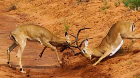 TWO IMPALAS CAUGHT ON CAMERA CLASHING HORNS IN BATTLE FOR DOMINANCE Image