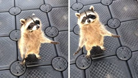 CHEEKY RACCOON TRIES TO SWIPE SOME BROWNIES IN THE MOST ADORABLE WAY Image