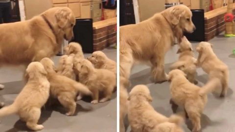 PUPPY POWER IS TOO STRONG FOR ONE GOLDEN RETRIEVER AS THE PANICKING POOCH TRIES TO ESCAPE A LITTER OF PUPPIES IN ADORABLE VIDEO Image