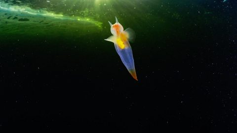 RARE SEA ANGEL SPOTTED SWIMMING UNDER THE ICE OFF RUSSIA Image