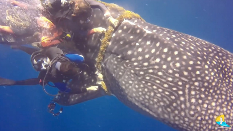 BRAVE DIVERS PERFORM INCREDIBLE RESCUE OF WHALE SHARK CAUGHT IN ROPE Image
