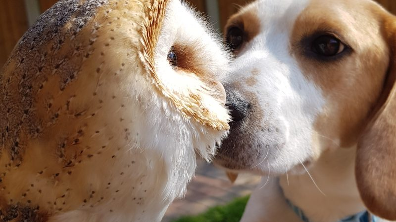 'BEST OF FRIENDS' BARN OWL FORMS FRIENDSHIP WITH NAUGHTY BEAGLE AND COLLIE DOG Image