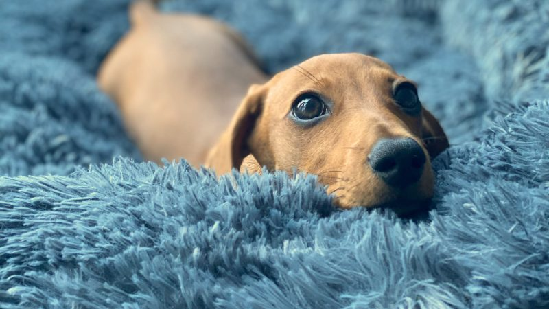 THERE'S NO PLACE LIKE HOME! MINIATURE DACHSHUND CAN'T WAIT TO GET INTO BED AFTER WALKIES Image