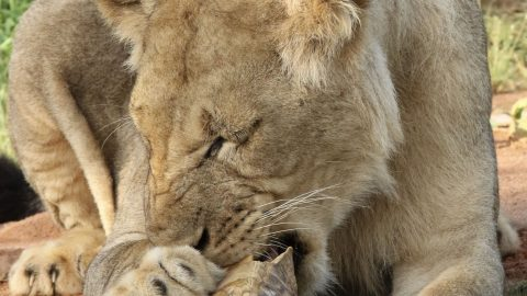 MORE THAN YOU CAN CHEW! HILARIOUS PHOTOS SHOW LION TRYING TO EAT A TORTOISE Image