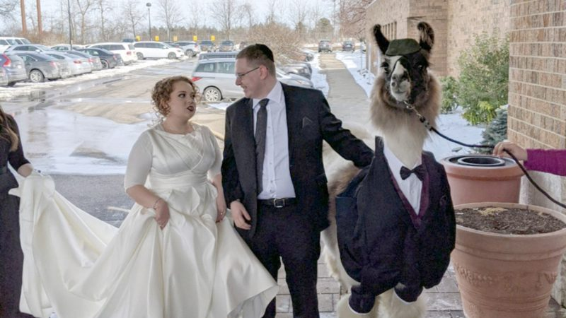 KEEP LLAMA AND CARRY ON – SISTERS SHOCK AS JOKESTER BROTHER BRINGS LLAMA TO WEDDING Image