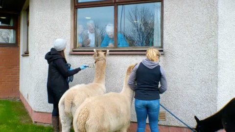 ALPACAS TREAT ELDERLY RESIDENTS TO A SURPRISE VISIT FROM THE WINDOW DURING COVID-19 ISOLATION Image