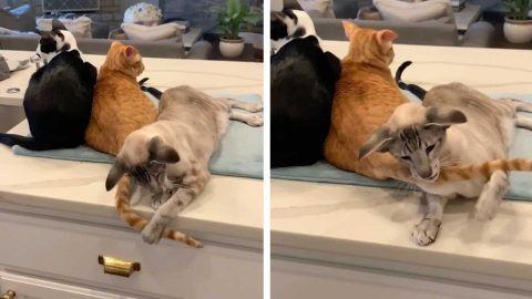 CAT WINDS UP BROTHER BY PLAYING WITH ITS TAIL Image