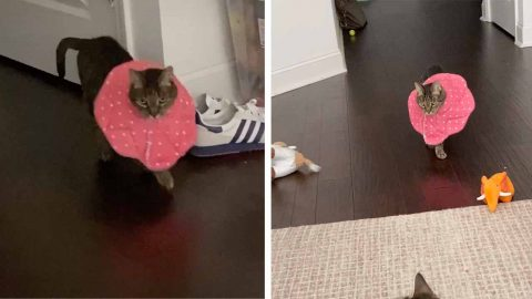WATCH THIS CAT STRUT ITS STUFF WITH FABULOUS PROTECTIVE COLLAR Image