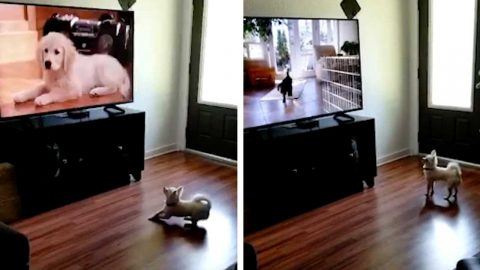 CONFUSED CHIHUAHUA LOOKS FOR DOGS BEHIND TV IN ADORABLE MOMENT CAUGHT ON CAMERA Image
