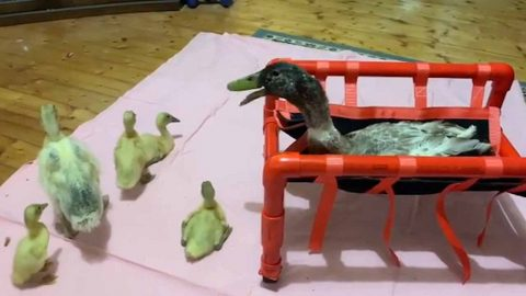 DISABLED DUCK LIVES LIFE TO THE FULLEST BY OVERCOMING SPINE DEFORMITY Image