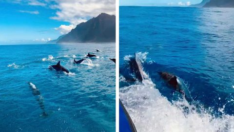 MAJESTIC SCHOOL OF DOLPHINS SURPRISES TOUR GROUP IN HAWAII Image
