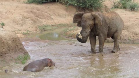 HIPPO HORRAY! MOTHER HIPPO SAVES BABY FROM BEING EATEN BY MASSIVE ELEPHANT Image