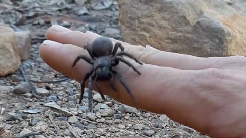 RATHER YOU THAN ME! MAN HANDLES WILD FUNNEL WEB SPIDER Image