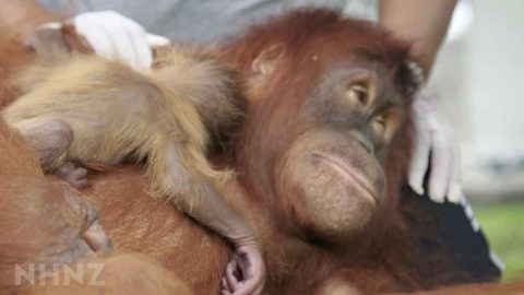 A HUG FROM MUM! INCREDIBLE VIDEO SHOWS ORANGUTAN REUNITED WITH HER BABY Image