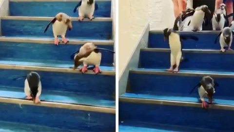 HOPPY FEET! ADORABLE ROCK HOPPER PENGUINS JUMP DOWN A STAIRCASE Image