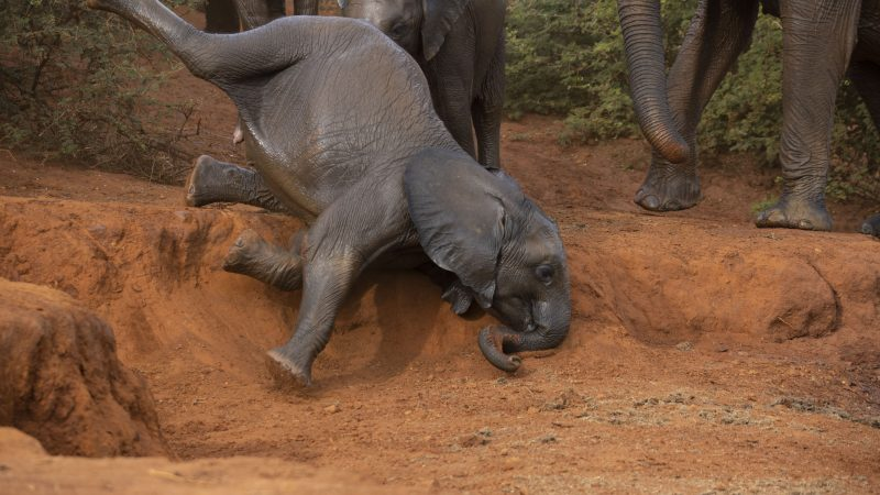 BABY ELEPHANT TAKES A TUMBLE IN THESE ADORABLE SNAPS Image