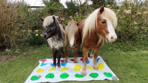 HAY, STOP CHEATING! HORSE TRAINER FINDS NOVEL WAY TO HELP PET PONIES BEAT THE LOCK DOWN BOREDOM - WITH A GAME OF TWISTER Image